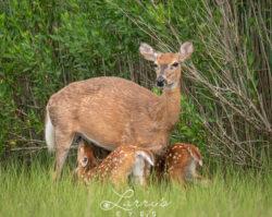 deer-nursing-1