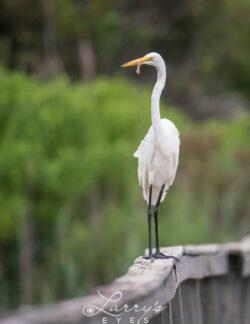egret-eating-1