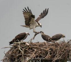 osprey-feeding-1