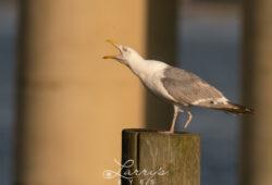 seagull-scream-1