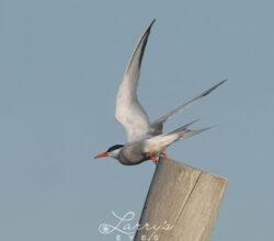tern-taking-off-1